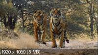 Сломанный хвост: Последнее путешествие тигра / PBS: Nature - Broken Tail: A Tiger's Last Journey (2011) BDRip 1080p / 720p + HDRip